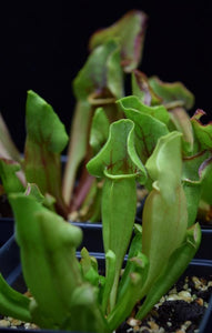 Newly formed pitcher of Sarracenia 'Yellow Jacket'.