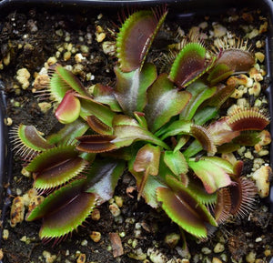 Group of Akai Ryu Red Dragon Venus Flytraps.