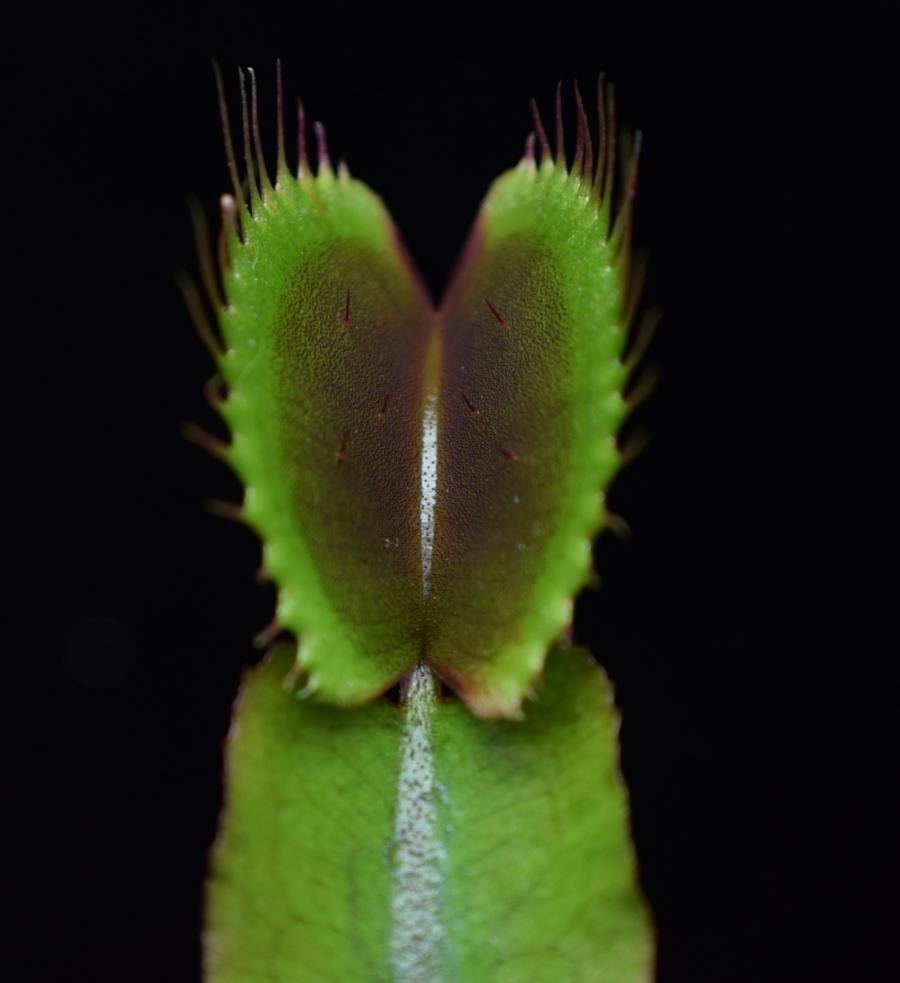 Close up of the trigger hairs on the inside of a Akai Ryu Venus Flytrap