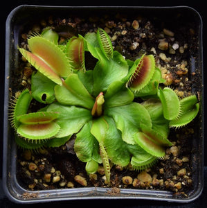 Overhead view of a Venus Flytrap with a flower stalk forming.