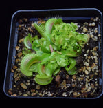 Load image into Gallery viewer, Group of adult and young Dionaea muscipula Venus Flytrap Plants