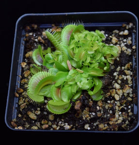 Group of adult and young Dionaea muscipula Venus Flytrap Plants