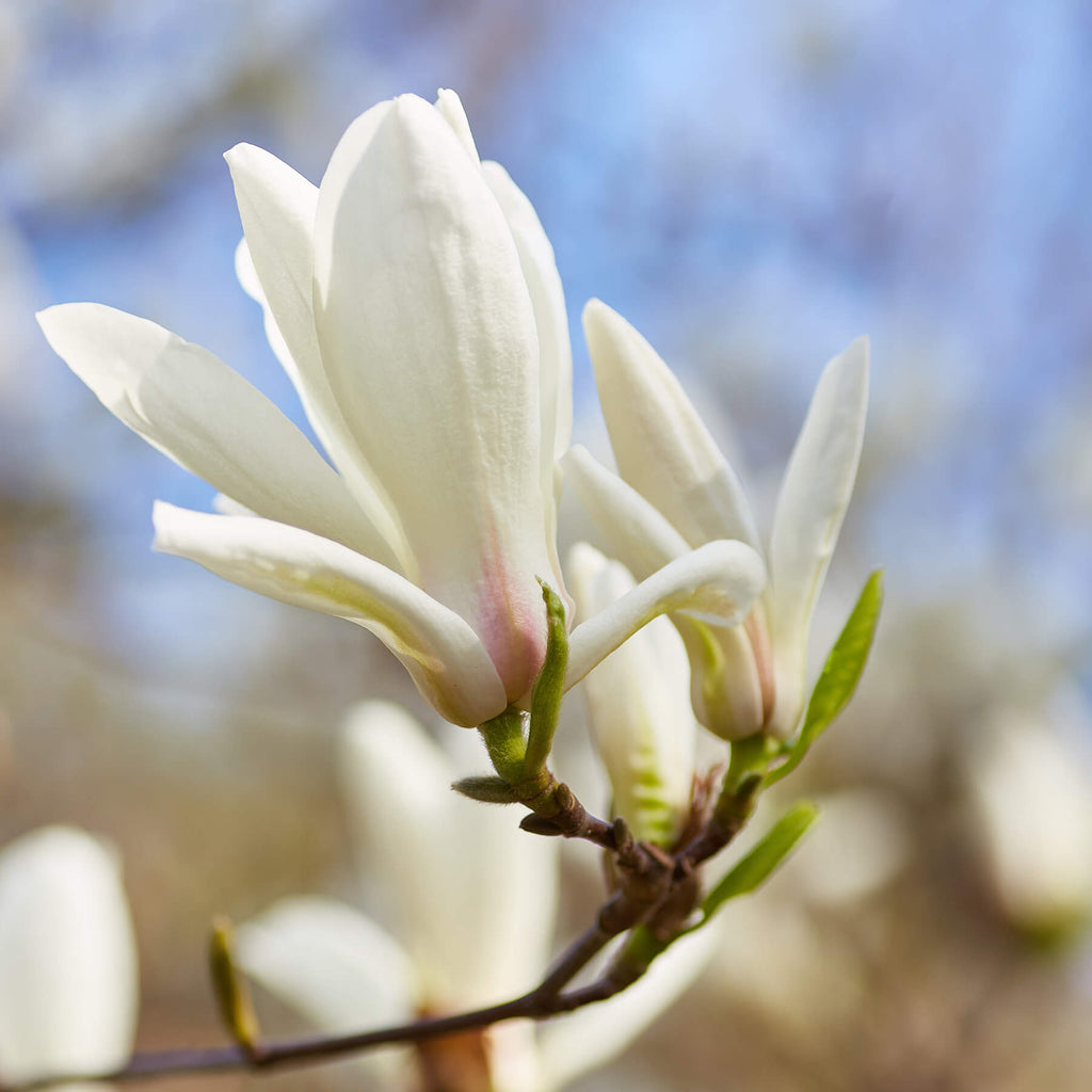 Chinese Willowleaf Magnolia