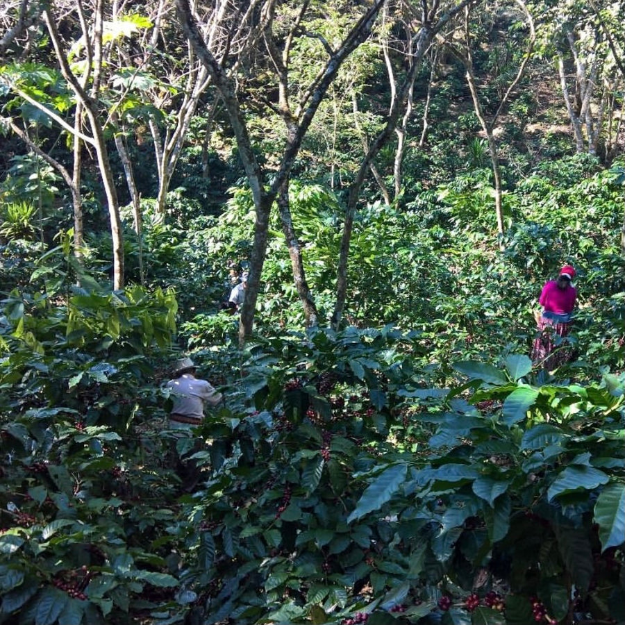 El Salvador Finca Las Veraneras Black Honey