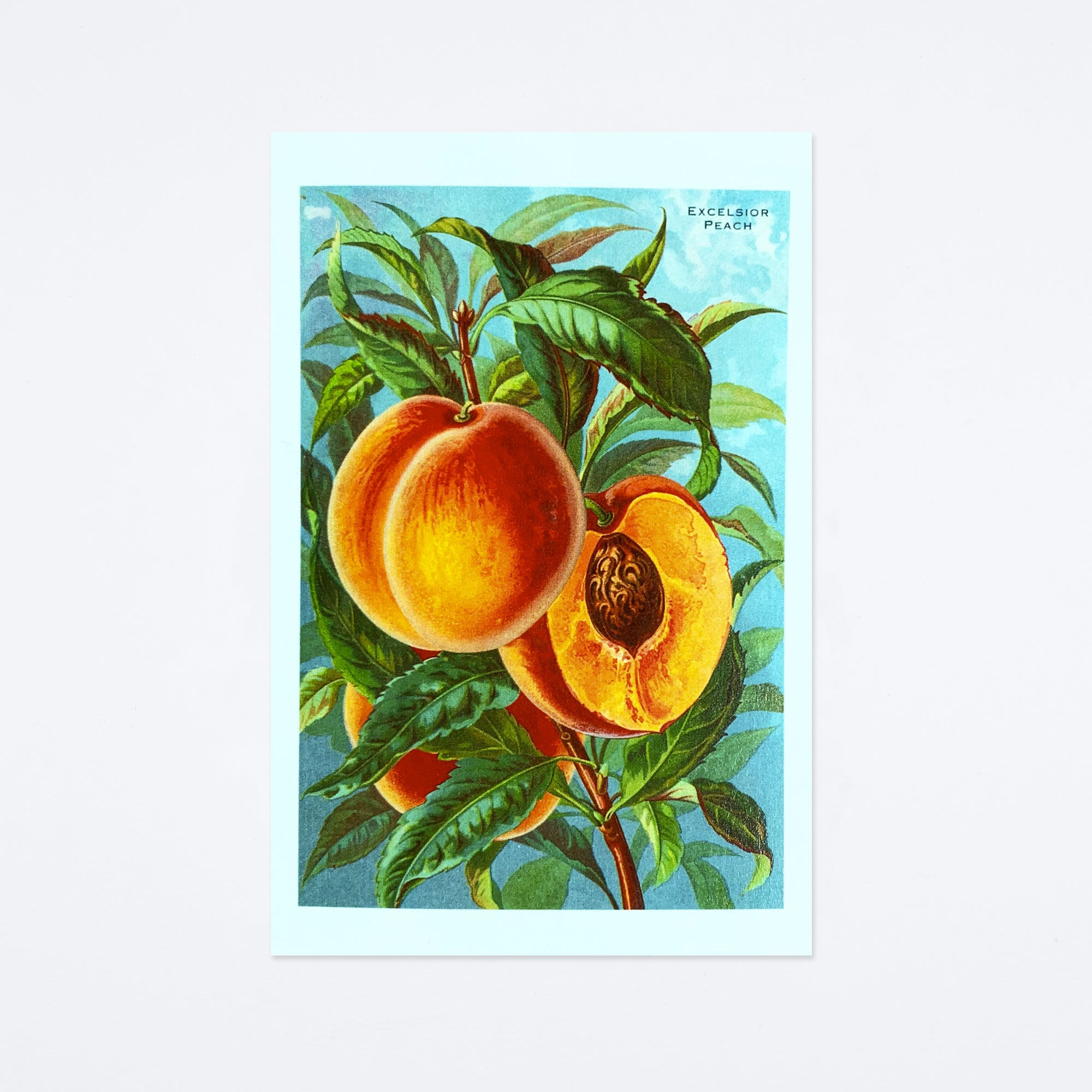 Excelsior Peaches Postcard
