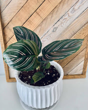 Load image into Gallery viewer, Calathea Ornata plant