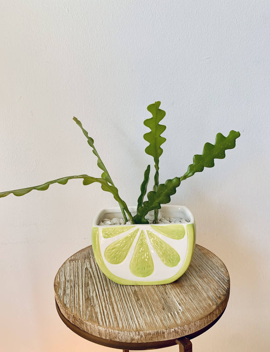 Fishbone Cactus in Lemon Planter