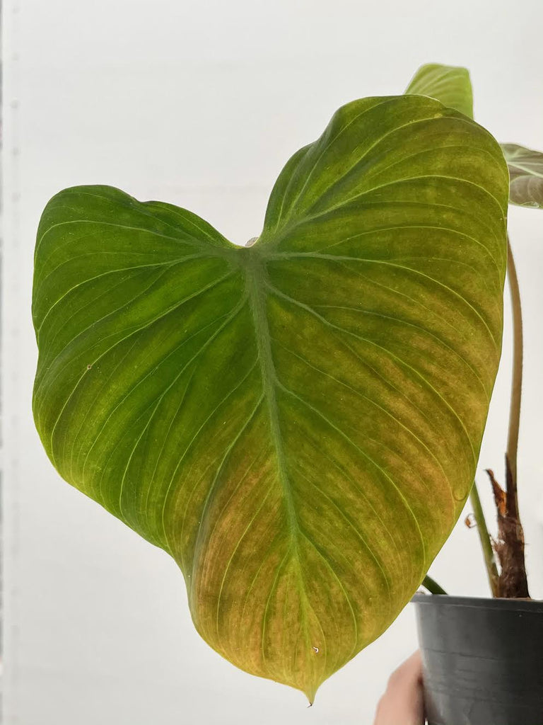 "Philodendron ""El Choco red"" #1"
