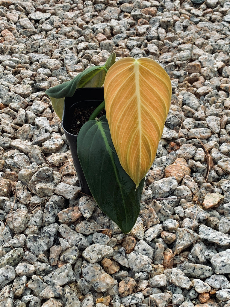 Philodendron gigas #1