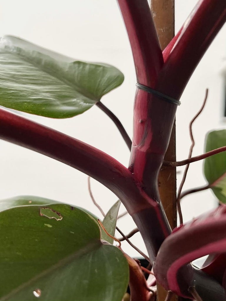 "Philodendron erubescens ""Pink Princess"" #3"