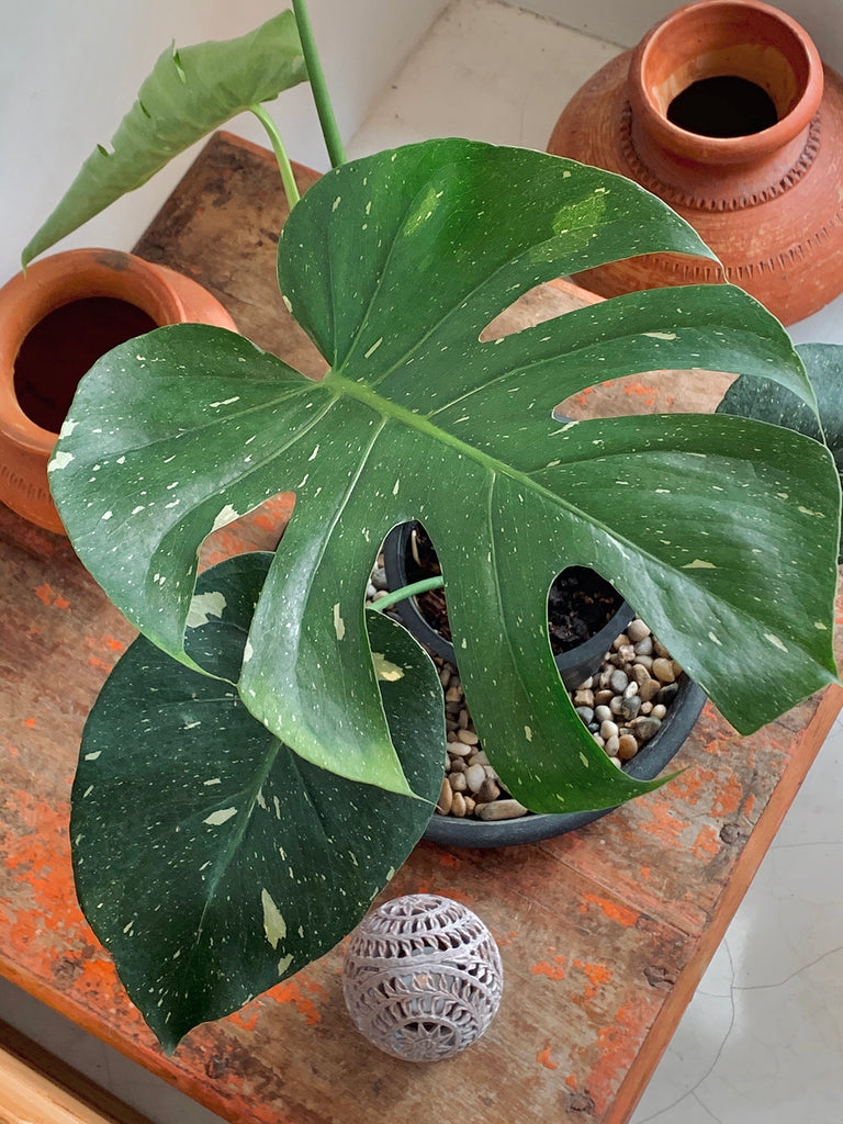 "Monstera deliciosa ""Thai Constellation"" #2"