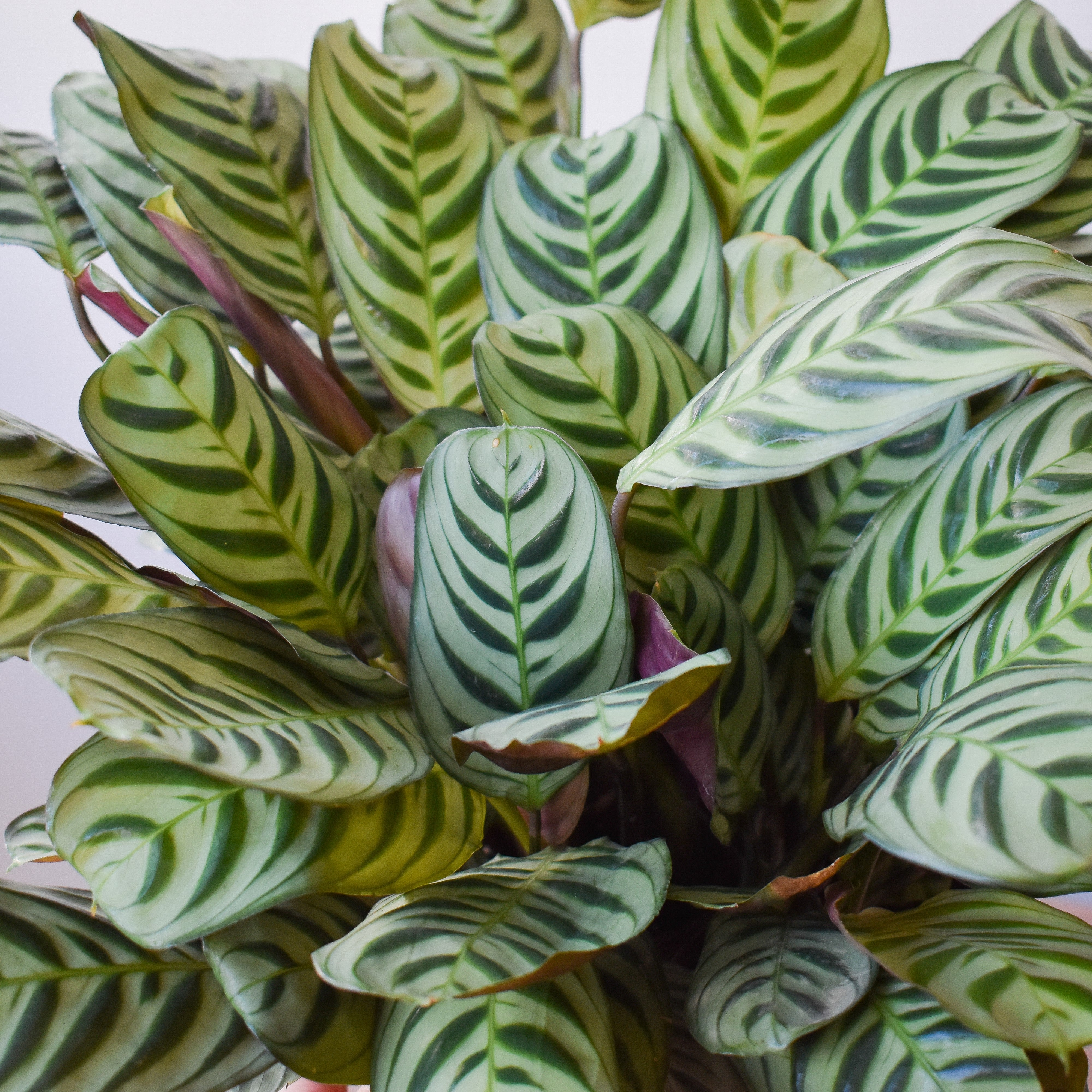 Peacock Calathea XL