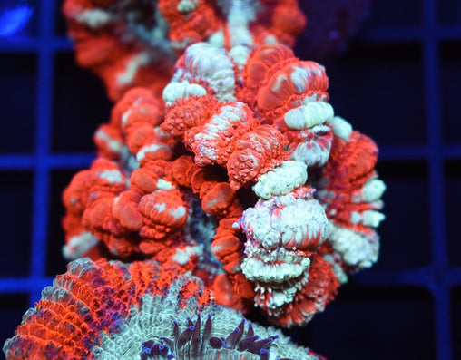 Huge Polyp Japanese Acan #4