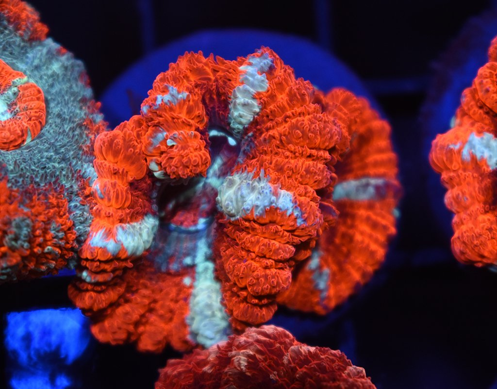 Huge Polyp Japanese Acan #23