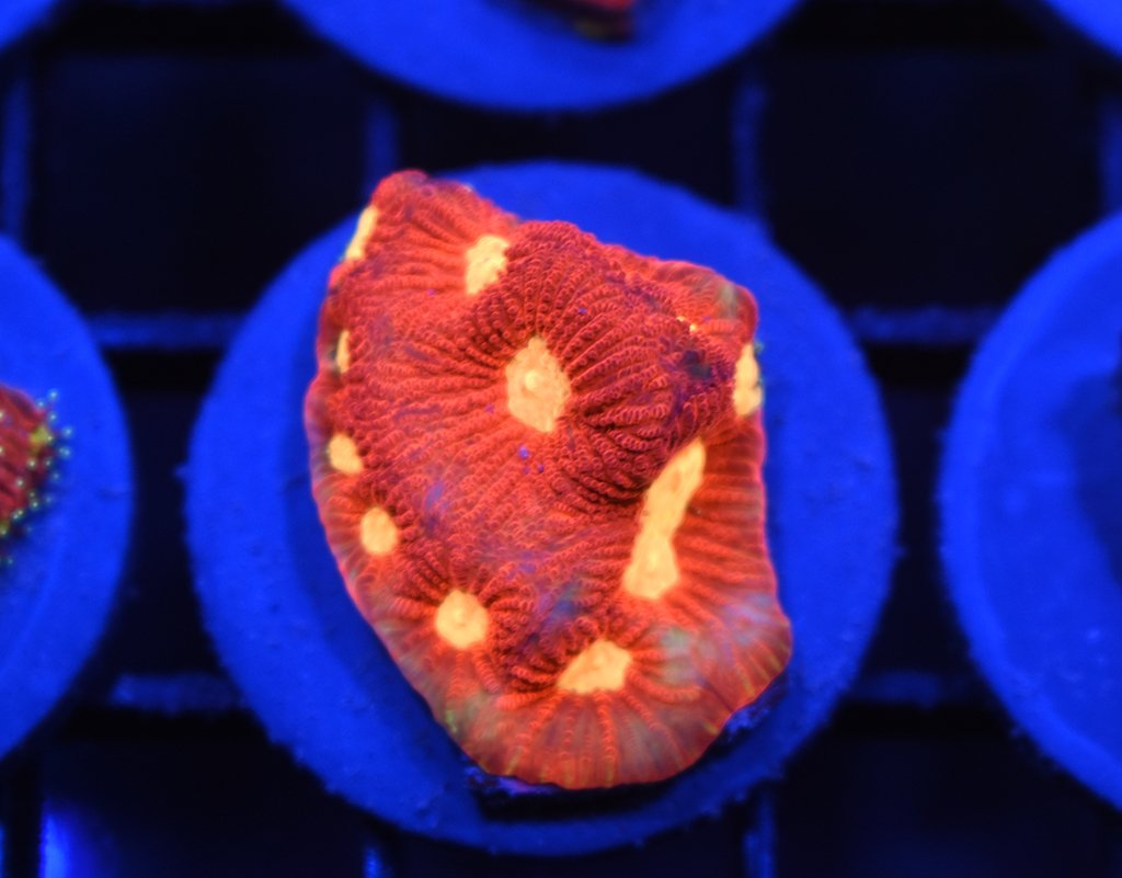 TCK Yellow Eye War Coral #7