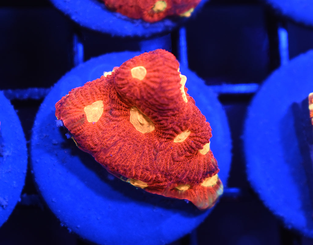 TCK Yellow Eye War Coral #10