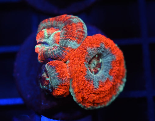 Japanese Big Polyp Acan #32