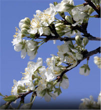 Load image into Gallery viewer, Prunus 'Burbank' Plum