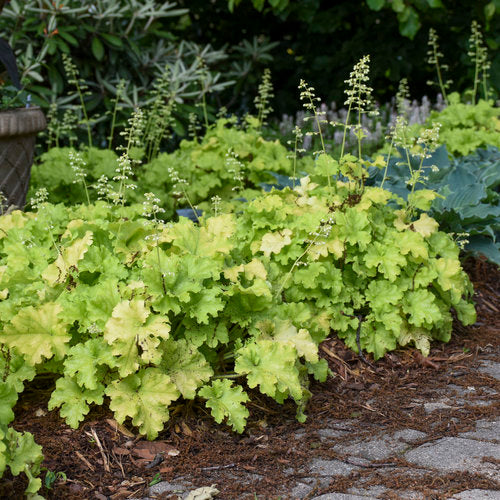 Heuchera 'Dolce Apple Twist'