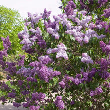 Load image into Gallery viewer, Syringa 'Albert F Holden'