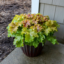 Load image into Gallery viewer, Heuchera 'Dolce Apple Twist'