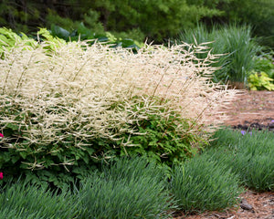 Aruncus 'Chantilly Lace' - Goatsbeard