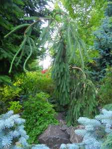 Picea abies 'Cobra' - Weeping Norway Spruce