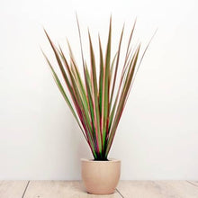 Load image into Gallery viewer, Dracaena marg. 'Bicolour' - Dragon Plant