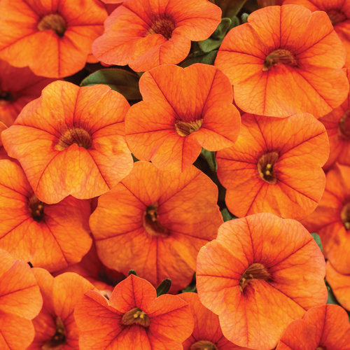 Calibrachoa 'Superbells Dreamsicle'