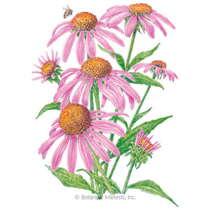 SEEDS: Echinacea Purple Coneflower - Organic