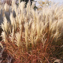 Load image into Gallery viewer, Miscanthus s. 'Purpurescens' - Flame Grass
