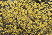 Load image into Gallery viewer, Hamamelis x 'Arnolds Promise' - Witch Hazel