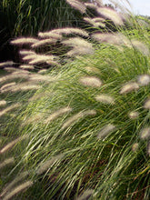 Load image into Gallery viewer, Pennisetum alopecuroides 'Hameln'