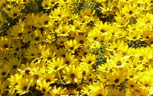Load image into Gallery viewer, Helianthus 'Autumn Gold'