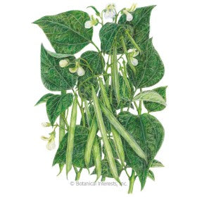 SEEDS: Bean Bush (Green) Jade