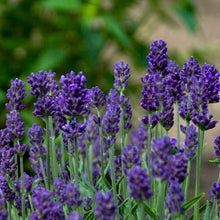 Load image into Gallery viewer, Lavandula 'Lavance' - English Lavender