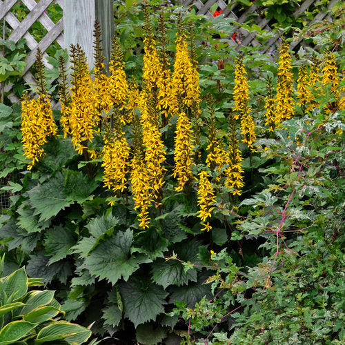 Ligularia 'The Rocket' - Leopard Plant