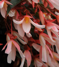 Load image into Gallery viewer, Begonia 'Million Kisses Elegance'
