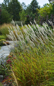Miscanthus s. 'Purpurescens' - Flame Grass