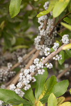 Load image into Gallery viewer, Myrica pennsylvanica - Bayberry