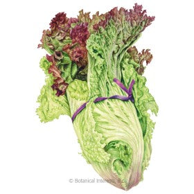 SEEDS: Lettuce - Leaf New Red Fire - Organic