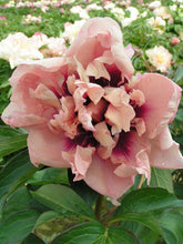 Load image into Gallery viewer, Paeonia 'Oochigeas' - Itoh Peony