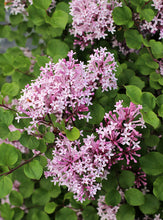 Load image into Gallery viewer, Syringa meyeri 'Palibin'