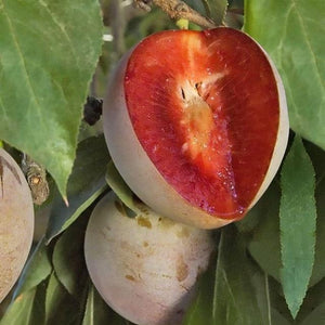 Prunus 'Elephant Heart' - Plum