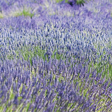 Load image into Gallery viewer, Lavandula int. 'Provence' - Lavender