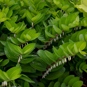 Polygonatum odoratum 'Ruby Slippers'