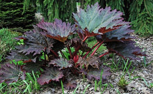 Load image into Gallery viewer, Rhuem palm. var. tanguticum - Ornamental Rhubarb