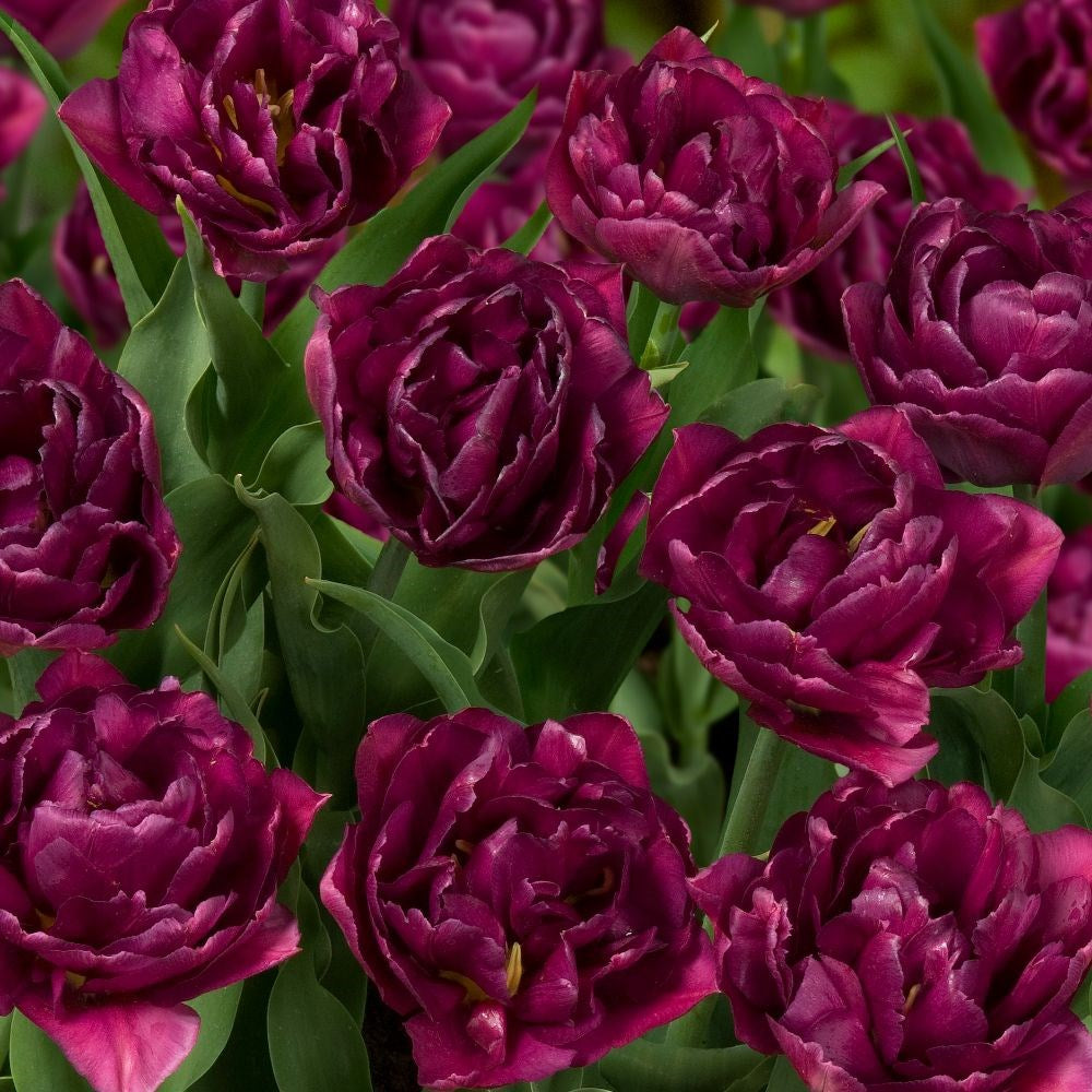 Tulipa 'Showcase'