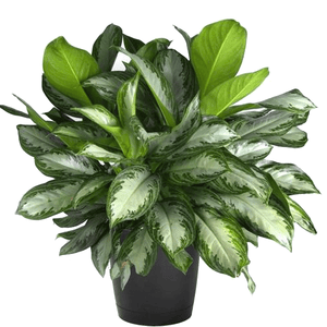 Aglaonema 'Silver Bay' - Chinese Evergreen