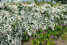 Load image into Gallery viewer, Spiraea x vanhouteii